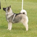 Laakso Norwegian Elkhounds
